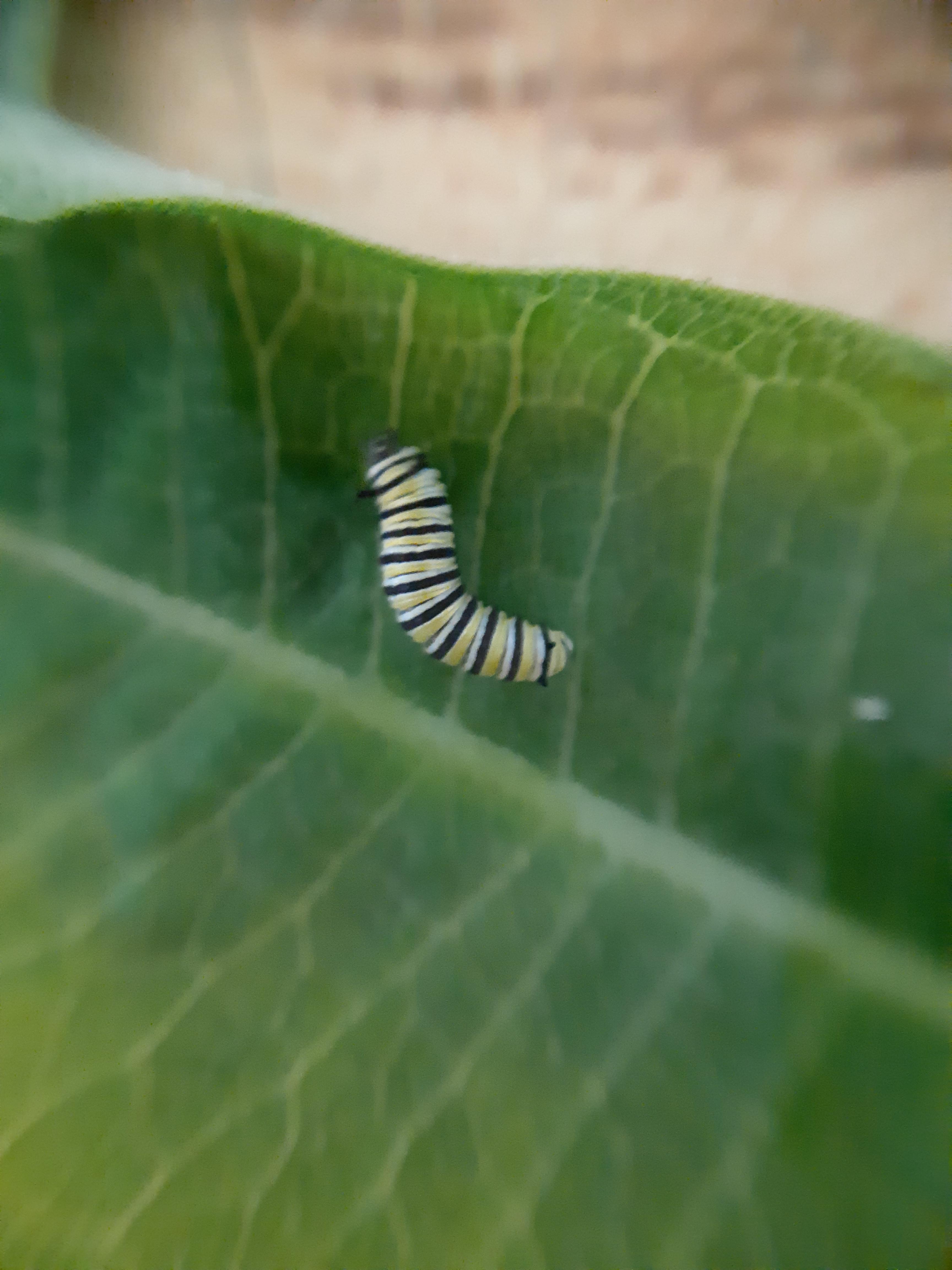 2nd instar