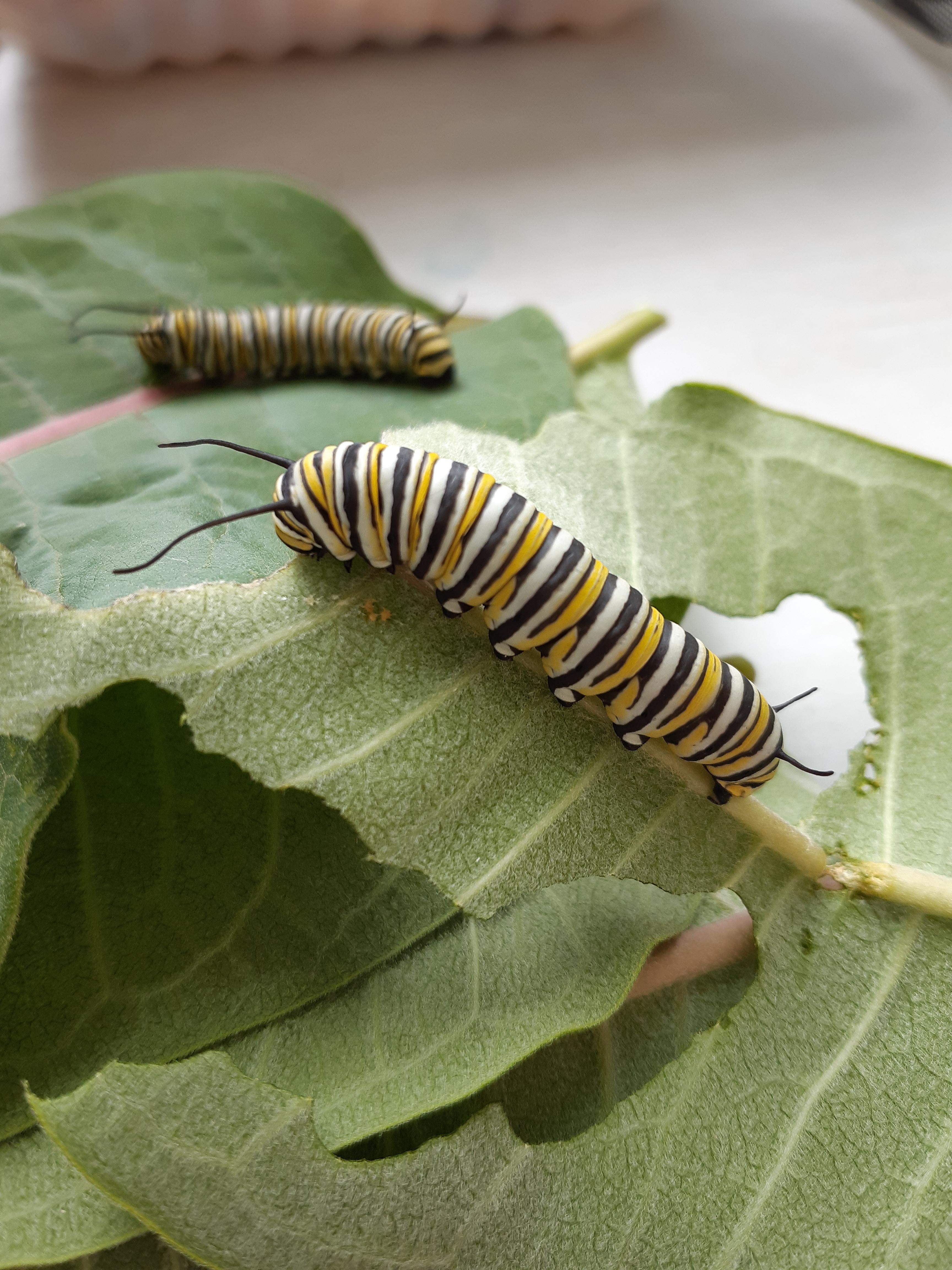 5th instar