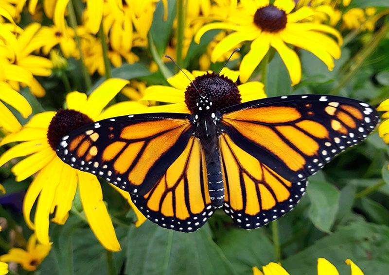 Female monarch2
